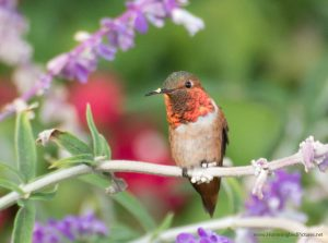 Picture of an Allen's Hummingbird in his flowers