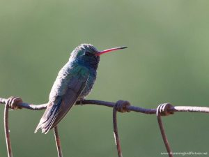 Picture of a Broad-billed Hummingbird with blue-green feathers. A male is perched on a wire fence.