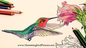 Featured Image - Hummingbird Coloring Pages - Anna's Hummingbird at Penstemon
