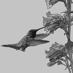 A grayscale image of the Anna's Hummingbird